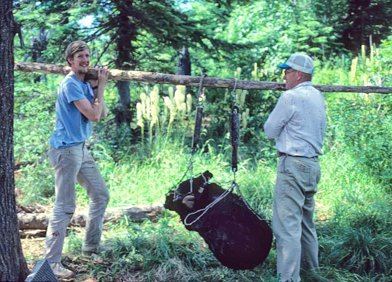 Weighing a 300 lb. bear at Priest Lake, Idaho with a passing Canadian tourist