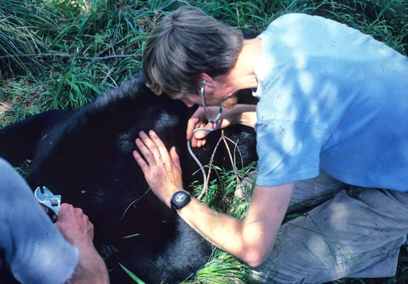 Checking the breathing of a black bear before applying a radar collar