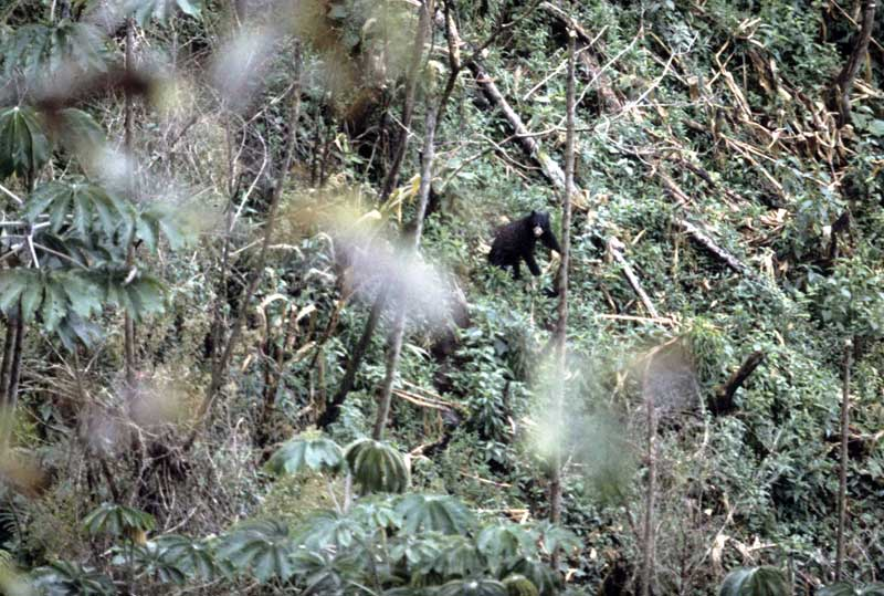 A spectacled bear raiding a cornfield in the ceja