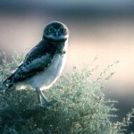 a burrowing owl that preys on kangaroo rats