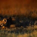 threatened San Joaquin kit fox, another predator of kangaroo rats