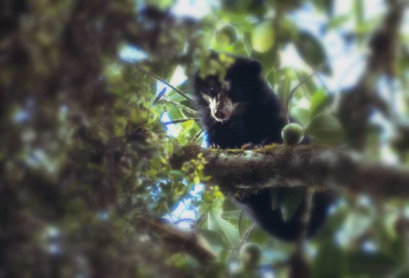 Yinda, an adopted spectacled bear in a Peruvian cloud forest fig tree